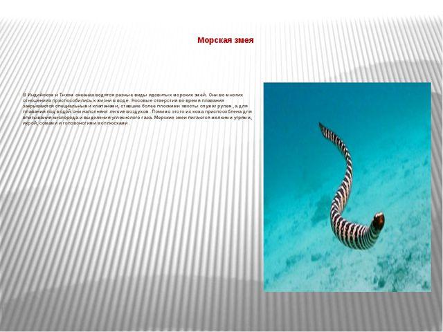 Морская змея  В Индийском и Тихом океанах водятся разные виды ядовитых морс...