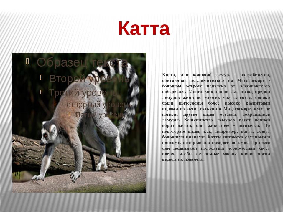 Катта Катта, или кошачий лемур, - полуобезьяна, обитающая исключительно на Ма...