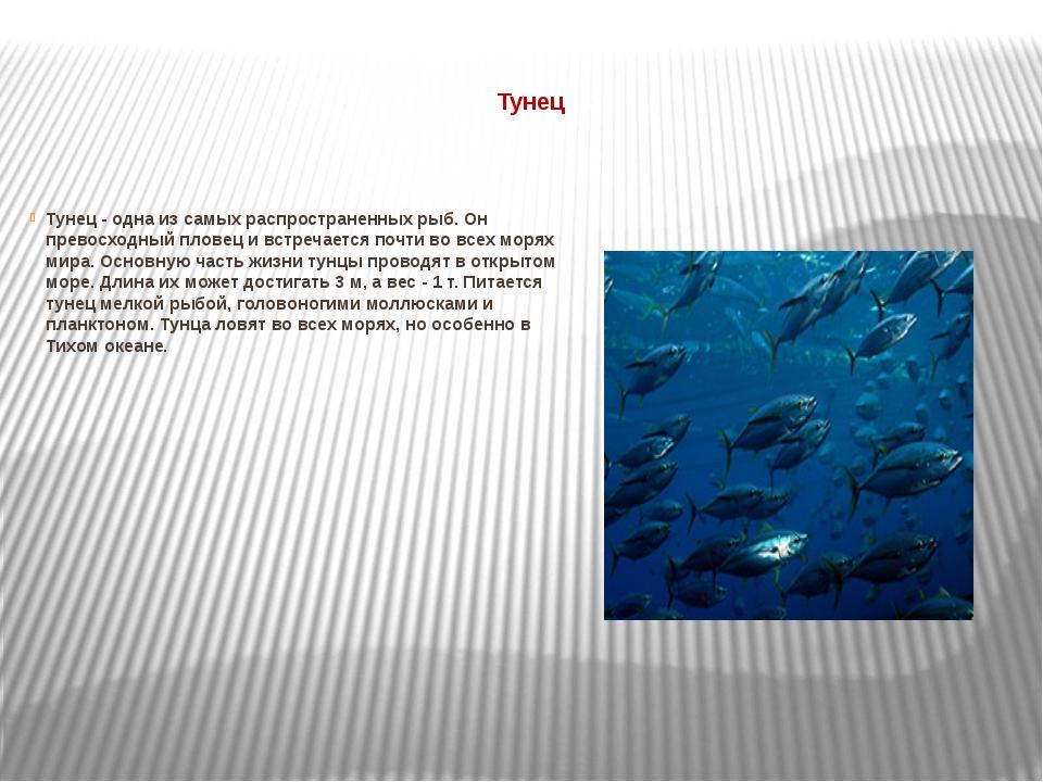 Тунец Тунец - одна из самых распространенных рыб. Он превосходный пловец и в...