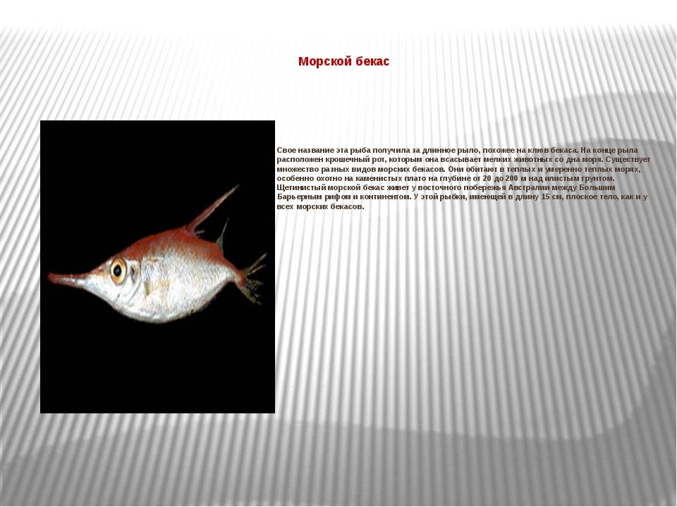 Морской бекас  Свое название эта рыба получила за длинное рыло, похожее на...