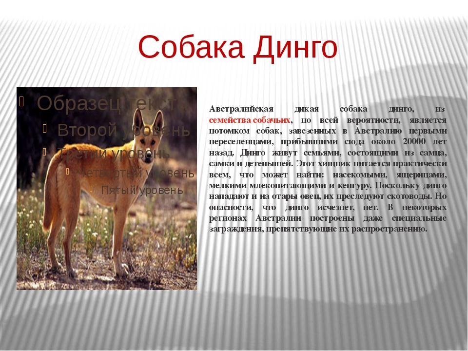 Собака Динго Австралийская дикая собака динго, изсемейства собачьих, по всей...