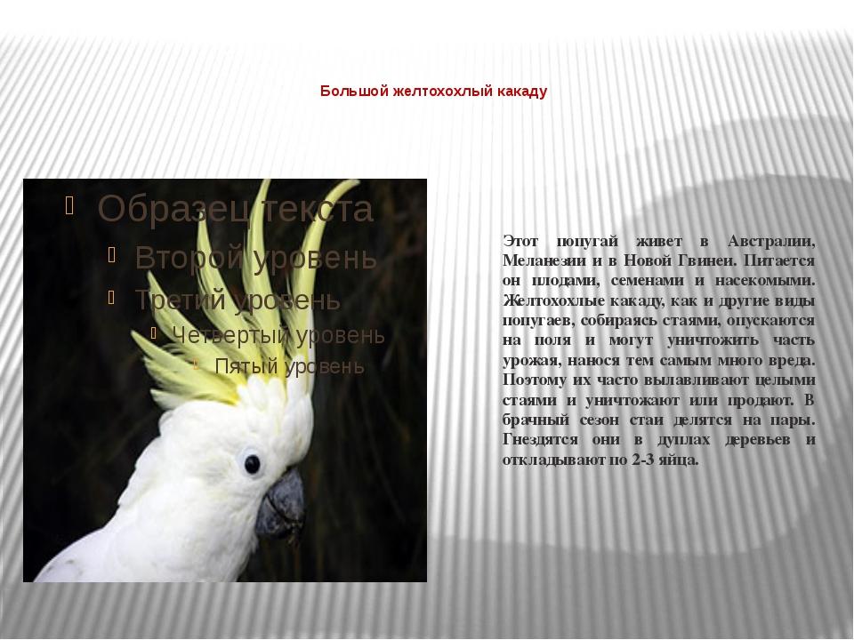Большой желтохохлый какаду  Этот попугай живет в Австралии, Меланезии и в Н...
