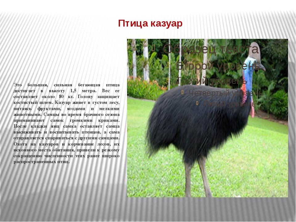 Птица казуар Это большая, сильная бегающая птица достигает в высоту 1,5 метра...