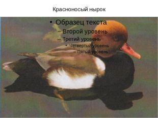 Красноносый нырок