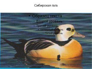 Сибирская гага