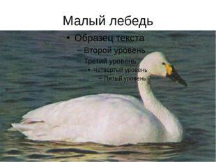 Малый лебедь
