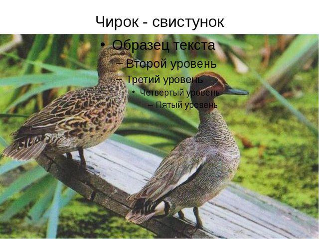 Чирок - свистунок