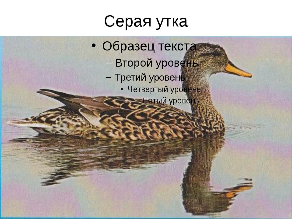 Серая утка