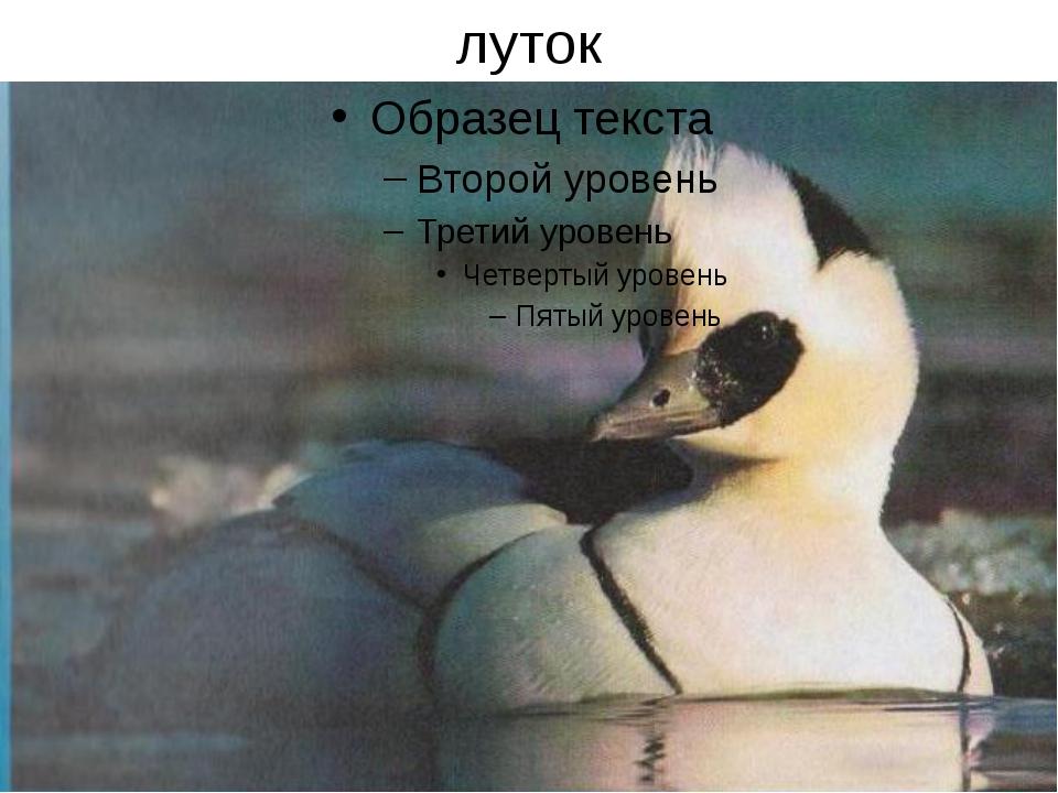 луток