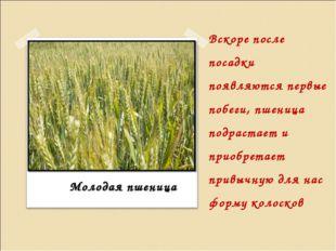 Вскоре после посадки появляются первые побеги, пшеница подрастает и приобрета