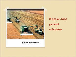 В конце лета урожай собирают Сбор урожая