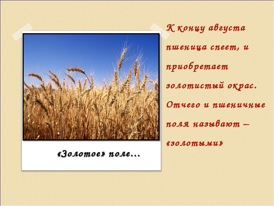 К концу августа пшеница спеет, и приобретает золотистый окрас. Отчего и пшени...