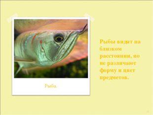 Рыбы видят на близком расстоянии, но не различают форму и цвет предметов. * Р