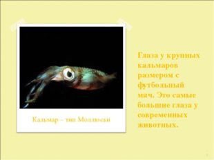 Глаза у крупных кальмаров размером с футбольный мяч. Это самые большие глаза