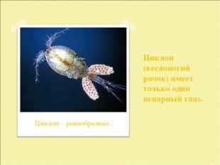 Циклоп (веслоногий рачок) имеет только один непарный глаз. * Циклоп – ракообр