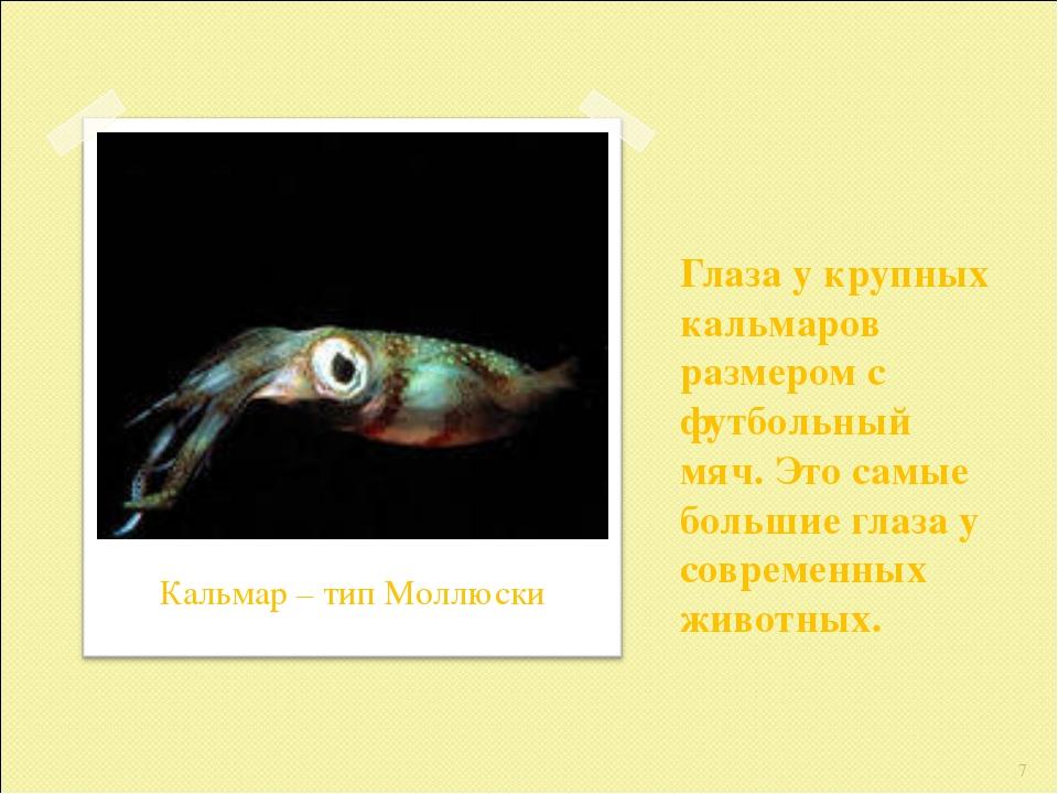 Глаза у крупных кальмаров размером с футбольный мяч. Это самые большие глаза...