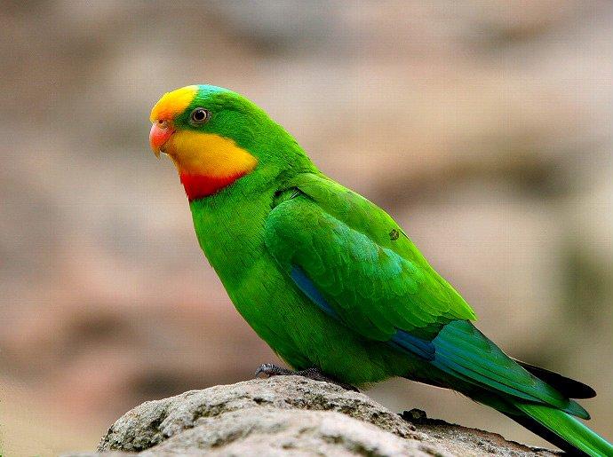 оптовая продажа попугаев - щитовидный попугай