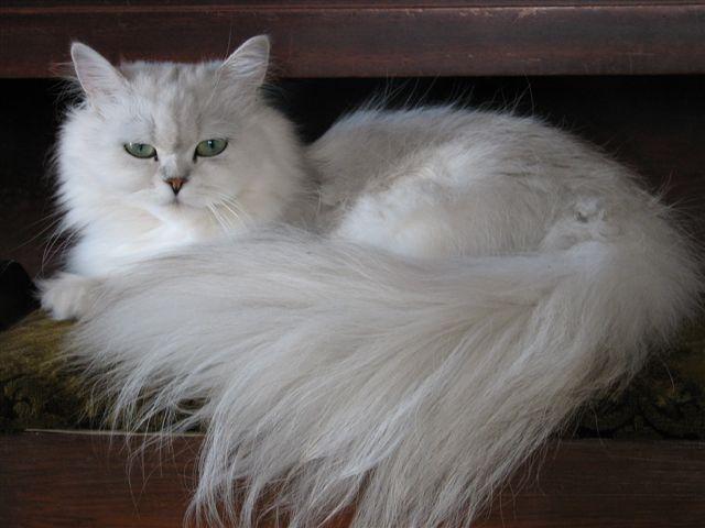 Порода кошек Шиншилла
