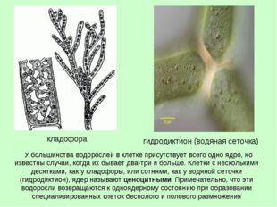 У большинства водорослей в клетке присутствует всего одно ядро, но известны