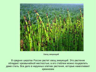 В средних широтах России растет хвощ зимующий. Это растение обладает чрезвыча