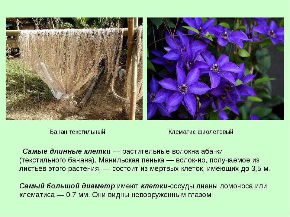 Самые длинные клетки — растительные волокна абаки (текстильного банана). Ма...