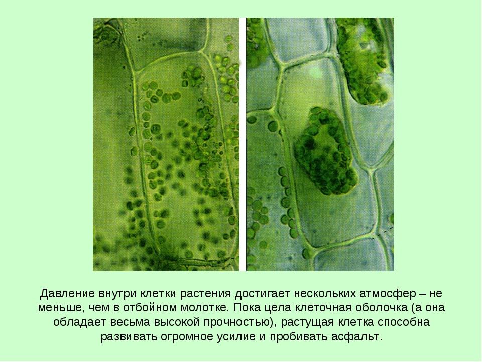 Давление внутри клетки растения достигает нескольких атмосфер – не меньше, че...