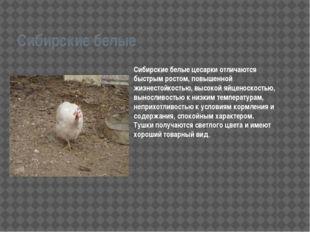 Сибирские белые Сибирские белые цесарки отличаются быстрым ростом, повышенной