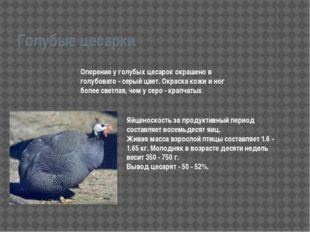 Голубые цесарки Оперение у голубых цесарок окрашено в голубовато - серый цвет