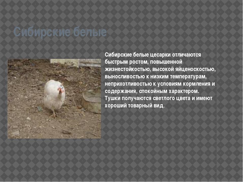Сибирские белые Сибирские белые цесарки отличаются быстрым ростом, повышенной...