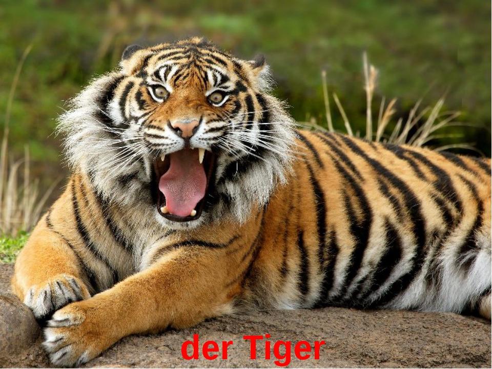 der Tiger