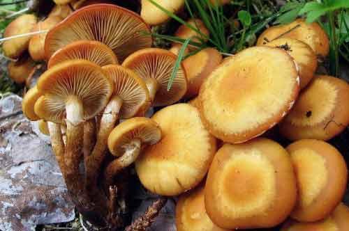 E:\грибы\опенок летний.jpg