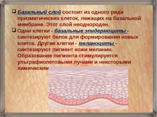 Базальный слой состоит из одного ряда призматических клеток, лежащих на базал