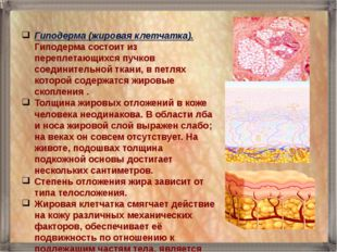 Гиподерма (жировая клетчатка). Гиподерма состоит из переплетающихся пучков со
