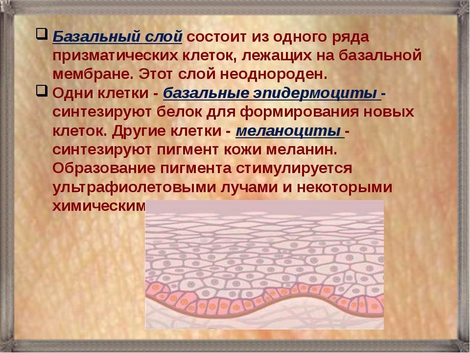 Базальный слой состоит из одного ряда призматических клеток, лежащих на базал...