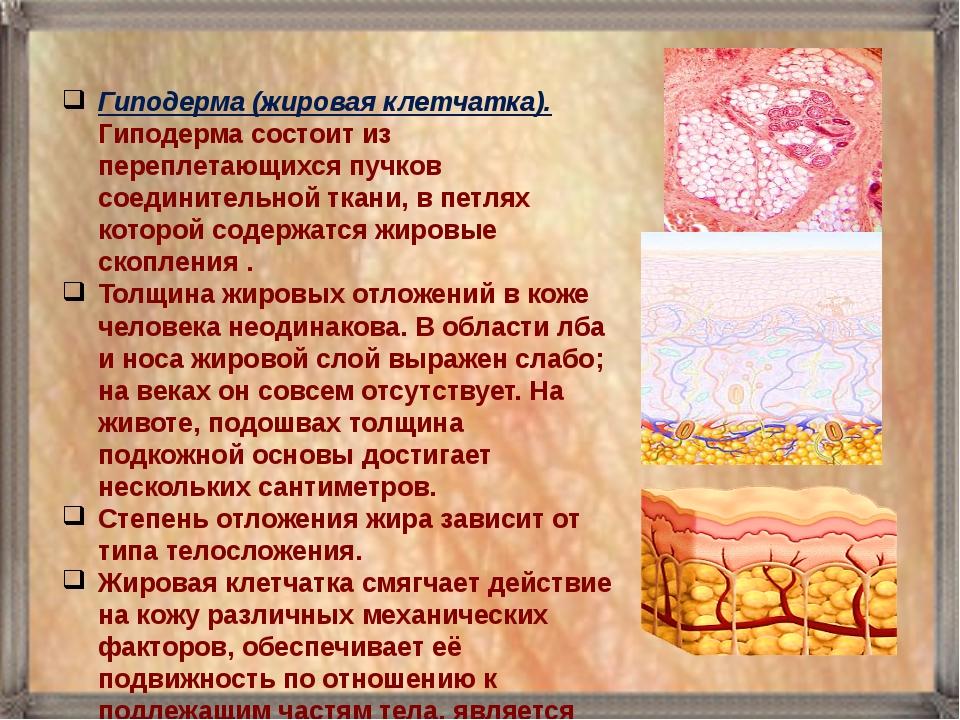 Гиподерма (жировая клетчатка). Гиподерма состоит из переплетающихся пучков со...