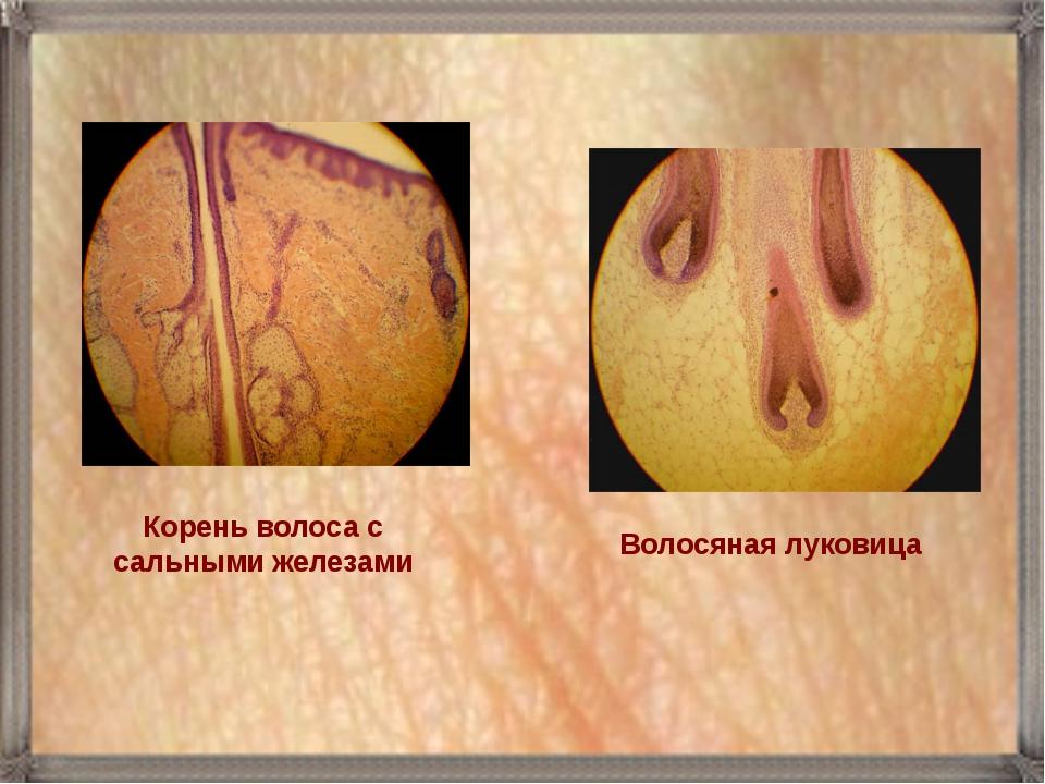 Волосяная луковица Корень волоса с сальными железами