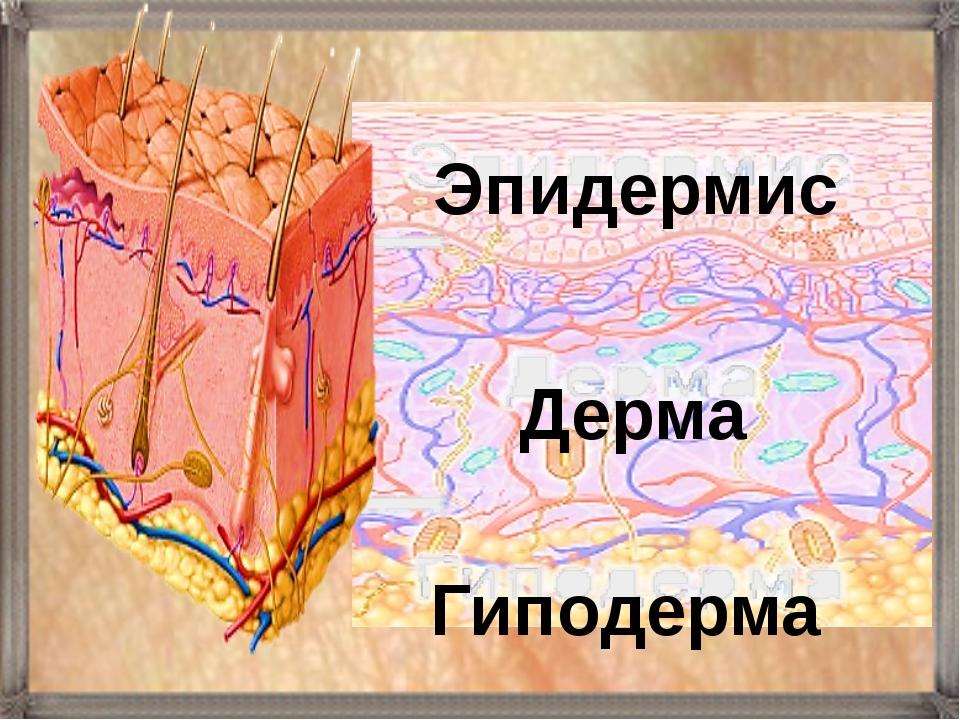 Гиподерма Дерма Эпидермис