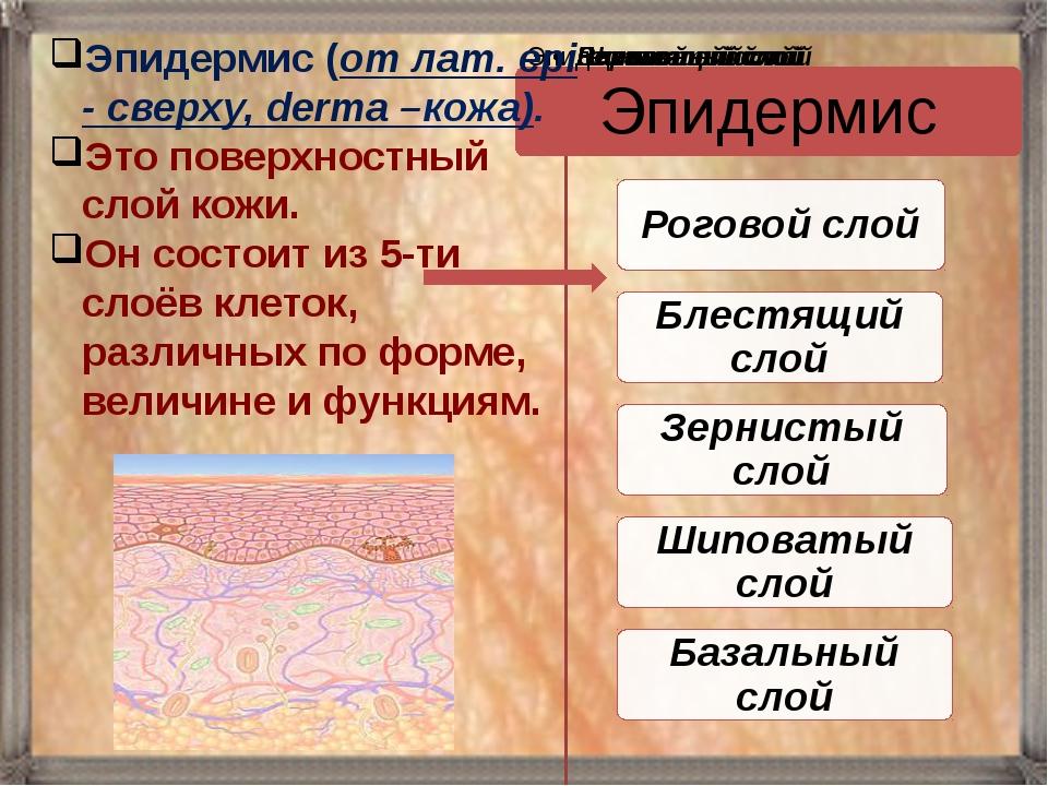 Эпидермис (от лат. epi - сверху, derma –кожа). Это поверхностный слой кожи. О...