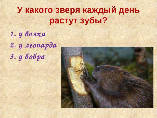У какого зверя каждый день растут зубы? у волка у леопарда у бобра