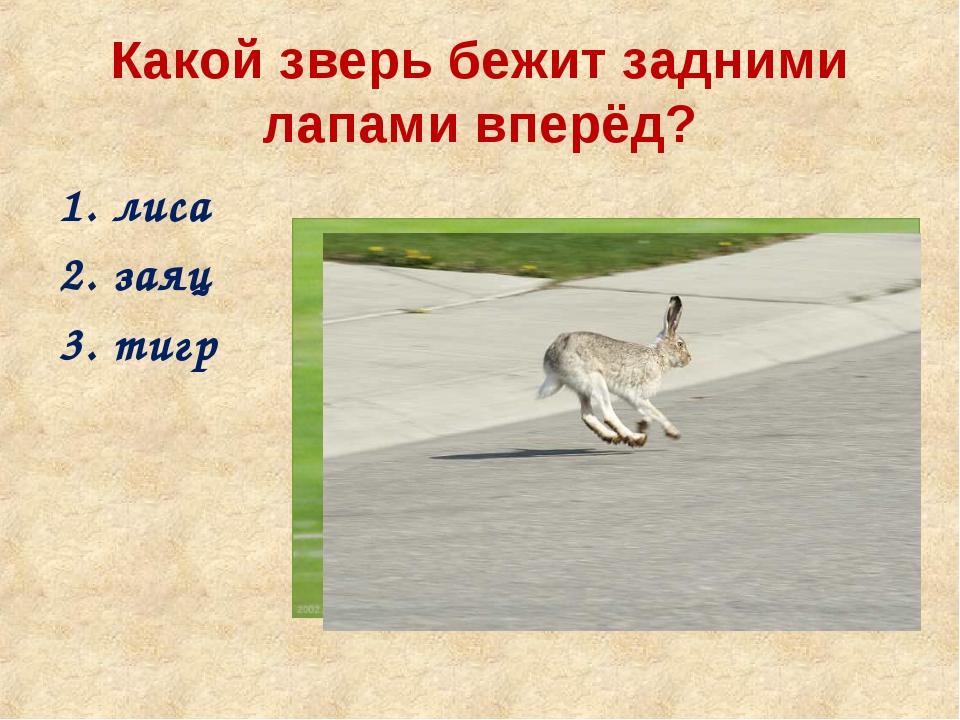 Какой зверь бежит задними лапами вперёд? лиса заяц тигр