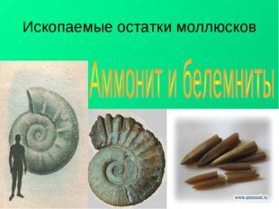 Ископаемые остатки моллюсков