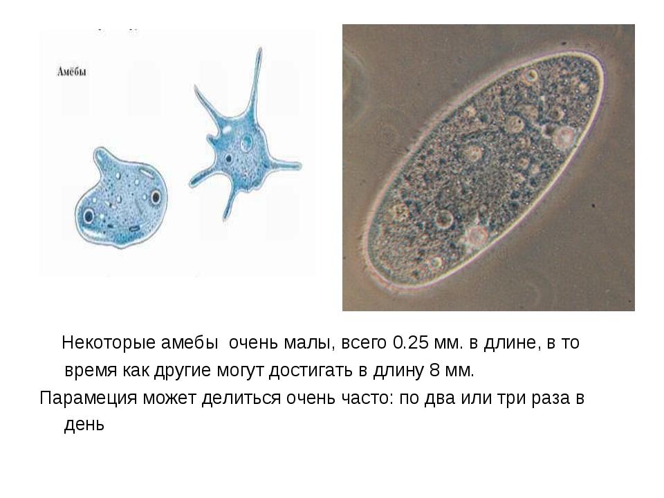 Некоторые амебы очень малы, всего 0.25 мм. в длине, в то время как другие мо...