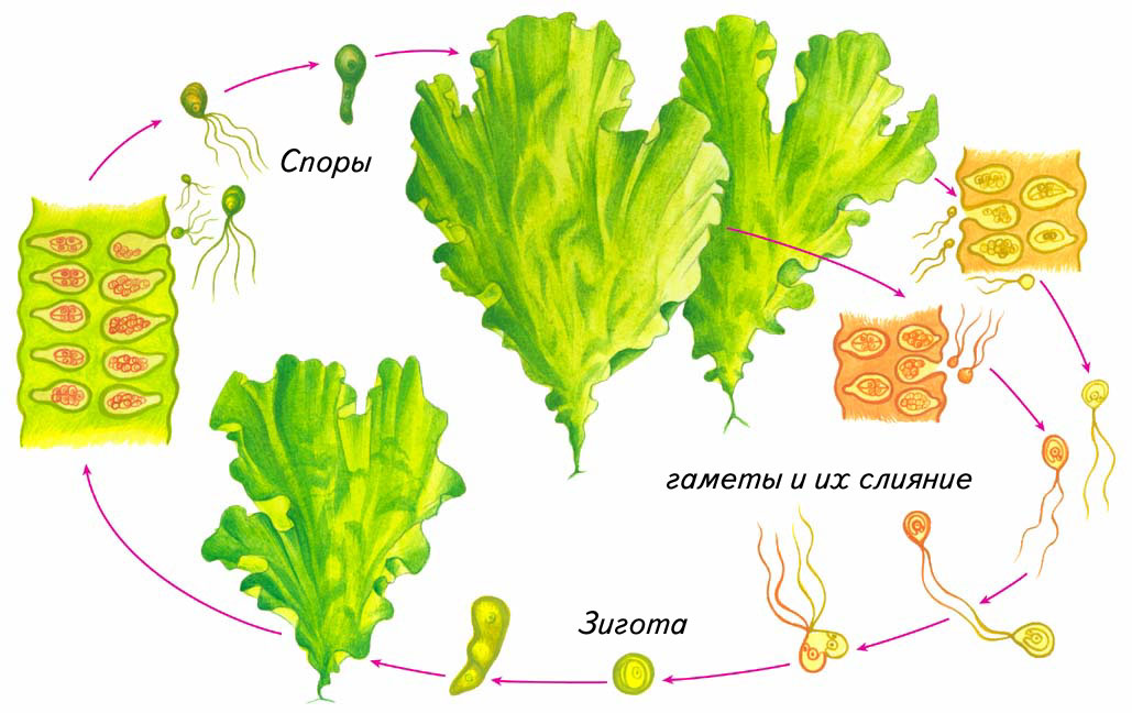 Схема строения водоросли ульвы