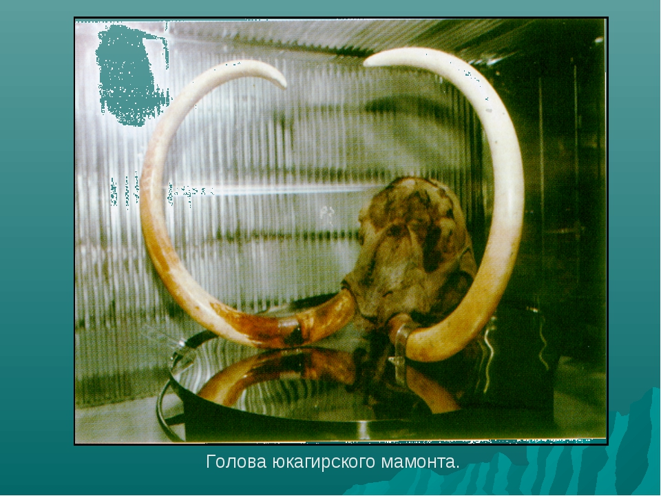 Голова юкагирского мамонта.