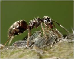 муравей 2