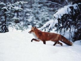 Почему лису называют хитрой?