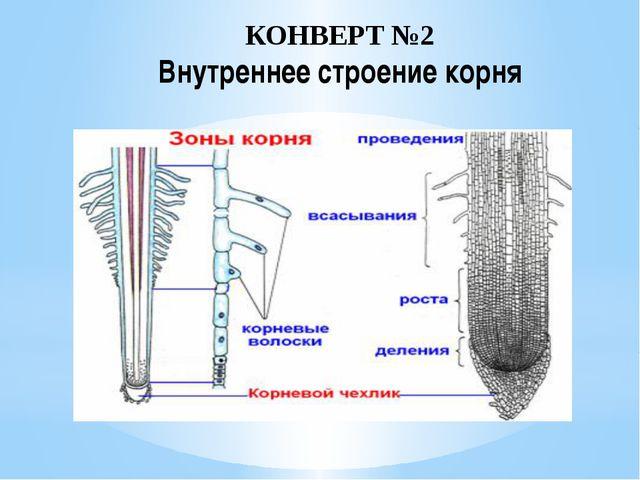 КОНВЕРТ №2 Внутреннее строение корня