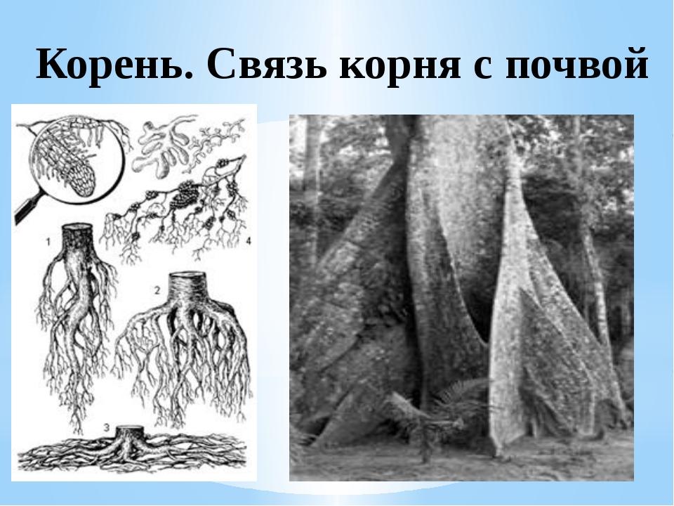 Корень. Связь корня с почвой