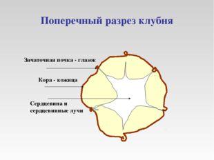 Поперечный разрез клубня Зачаточная почка - глазок Кора - кожица Сердцевина и
