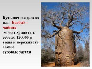 Бутылочное дерево или Баобаб – чайник может хранить в себе до 120000 л воды и